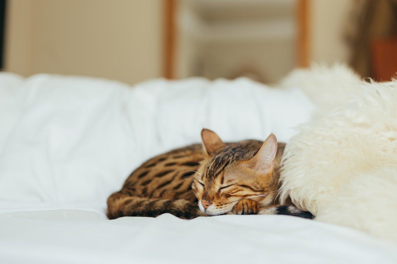 A cat asleep on the couch. One common sleep issues for seniors is sleep apnea