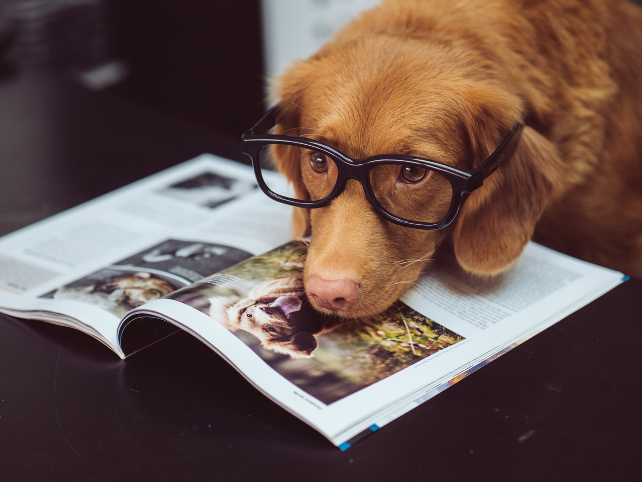 A dog wearing glasses looking at a dog magazine