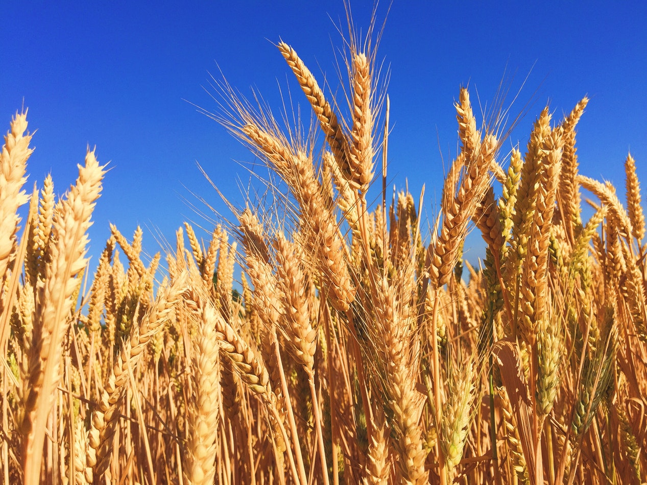 A field a wheat. Wheat is one of the main ingredients in gluten, along with barley