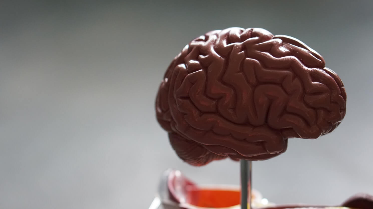 A model of the brain. The brain is affected when an individual has dementia
